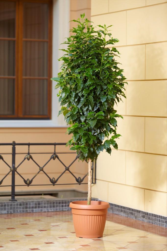 Уход кофейным деревом в домашних условиях фото