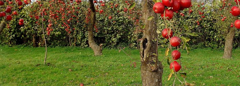 Спасение яблони