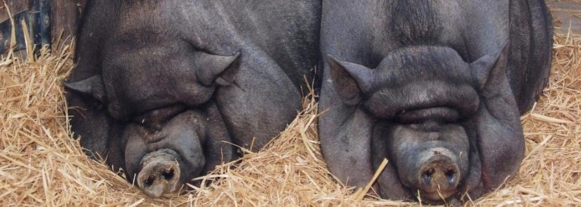 Генетики из Китая создали супермясную породу свиней