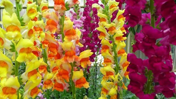 букет на 1 сентября из орхидей Львиный Зев
