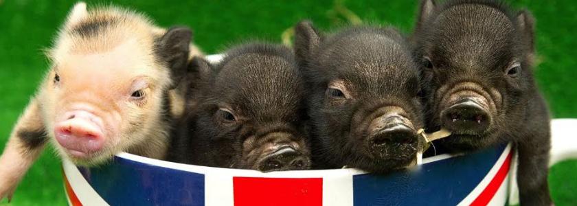 В продажу поступили микро-свинки