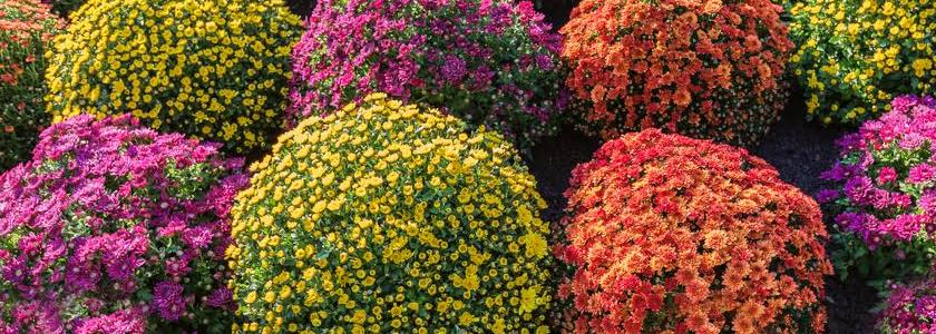 Хризантема на полыни – новая шутка генетиков