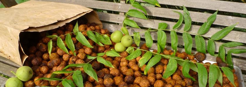 Орехи из Маньчжурии. Опыт выращивания FORUMHOUSE