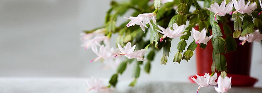 Выращивание, уход и принудительное цветение Шлюмбергеры