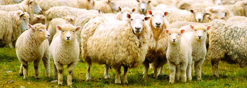 Что нужно для разведения овец в домашних условиях