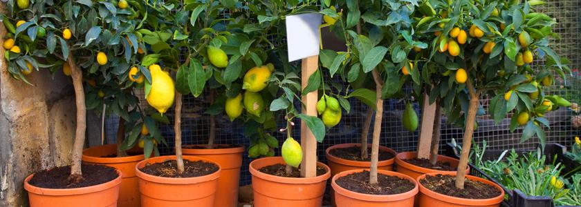 Выращивание лимона в комнате