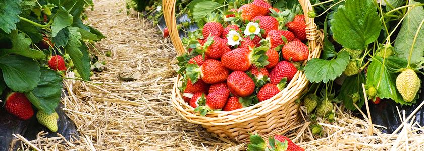 Садовая земляника: агротехника