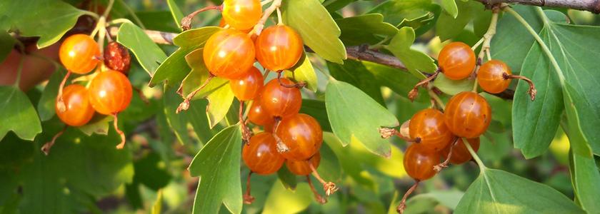 Смородина золотистая: агротехника и биологические особенности