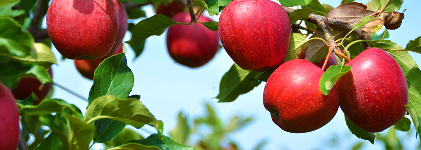 Яблоня – агротехника и биологические особенности