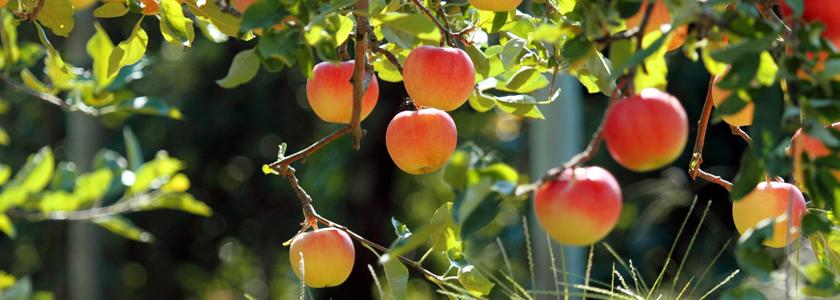 Яблоня: формирование стланцев, размножение, борьба с основными вредителями