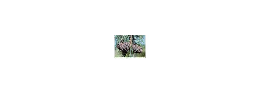 Кедровая сосна