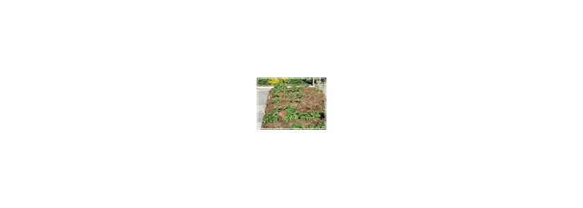 Картофель под соломой. Советы опытных садоводов.