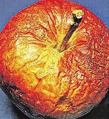 больные яблоки
