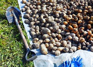 Копаем картошку правильно