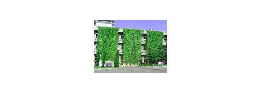 Зеленая «занавеска» – эффективное средство борьбы с жарой