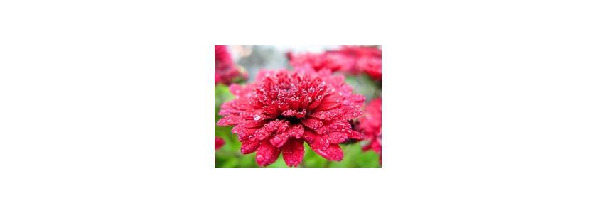 Наш осенний сад: цветник