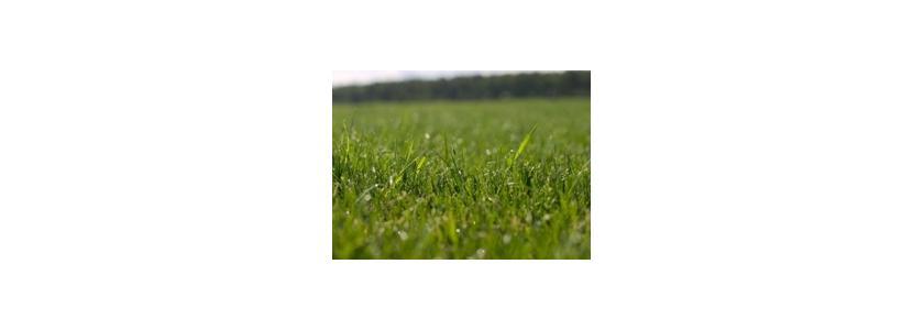Расти пшеница, не расти газон