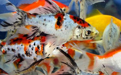 Зимовка рыбы в дачном пруду
