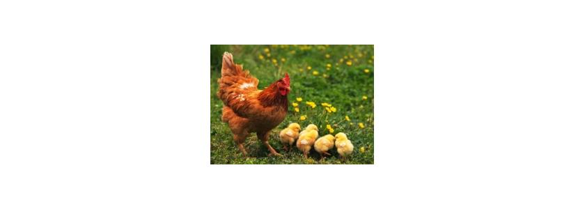 Корм для курицы-несушки