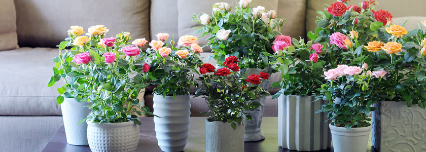 Розы из горшка: вторая жизнь