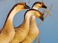Китайская шишка на гусином клюве