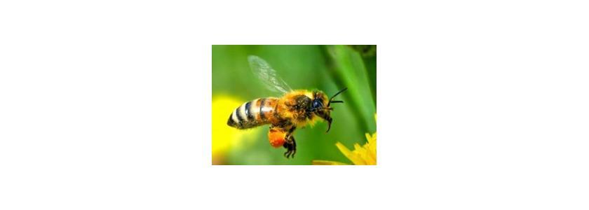Пчелы-кофеманы