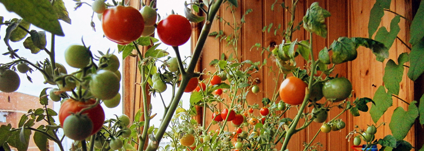 Урожай помидоров с подоконника