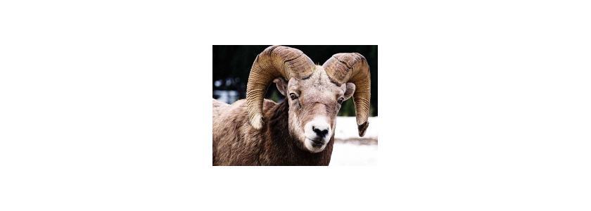 Овчубук – новое животное из Якутии