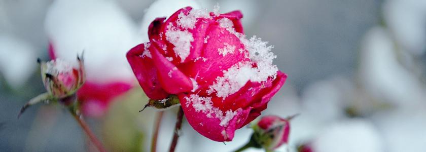 Розы: окончание зимовки