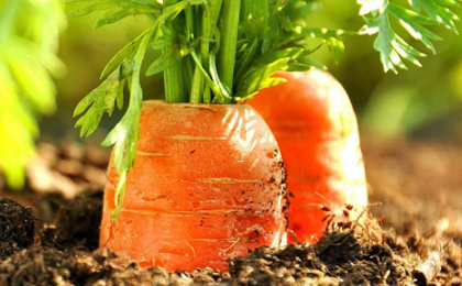 Морковь: правила посадки