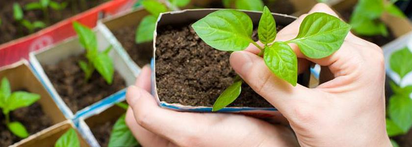 Как получить крепкую рассаду: на опыте форумчан