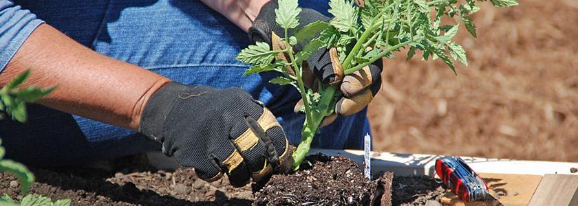 Чем обрабатывать томаты, перцы и огурцы при высадке в открытый грунт