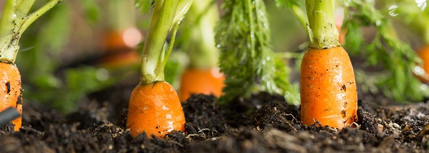 Морковка в мешочке и клейстере