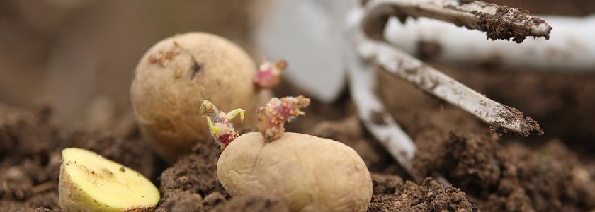 Картошка: сажаем правильно