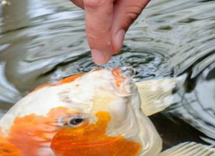 Пшеница подана: как приготовить корм для прудовой рыбы
