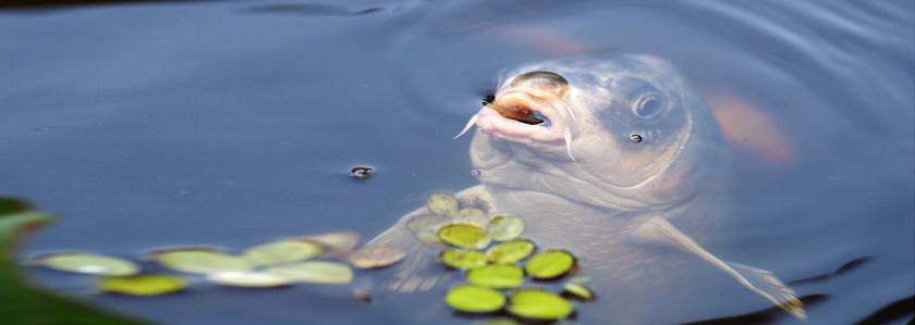 Опарыши поданы: как организовать процесс кормления прудовой рыбы