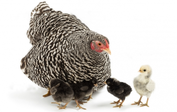 Сколько дней курица высиживает цыплят