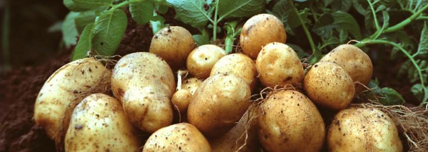 Как спасти картошку