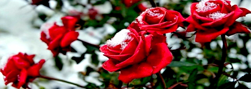 Зимнее укрытие роз