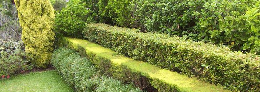 Как сделать многорядную живую изгородь