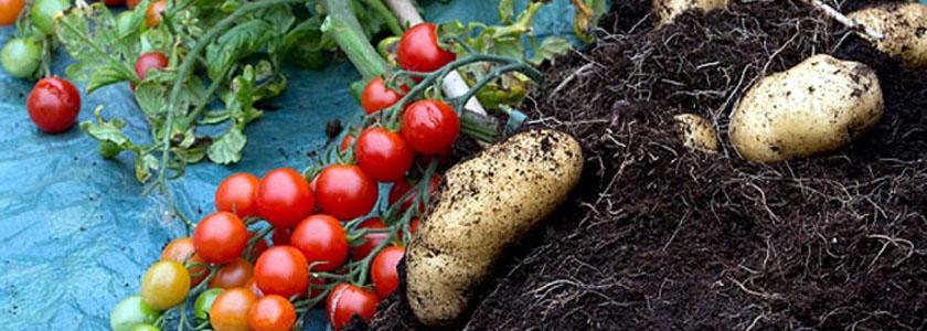 Как вырастить томатокартофель
