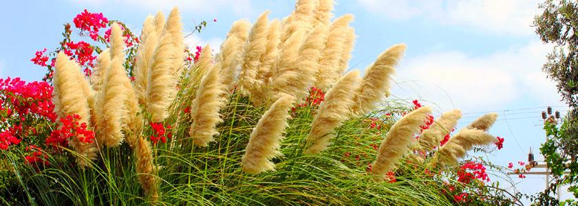 Пампасная трава в суровом климате