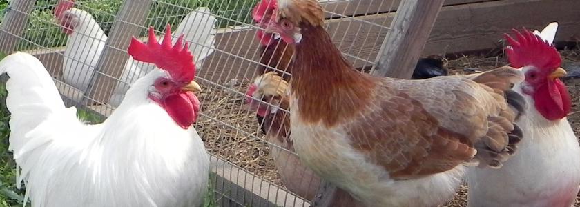 Какой смысл выращивать карликовых кур