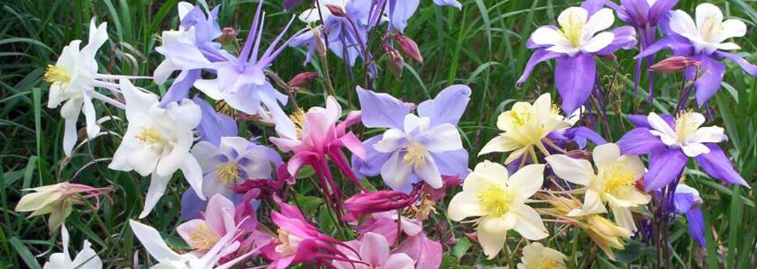 Водосбор: размножение семенами