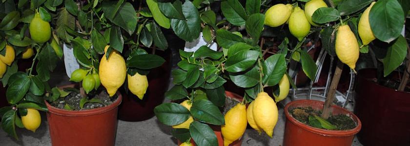Тропические фрукты, которые можно вырастить в домашних условиях