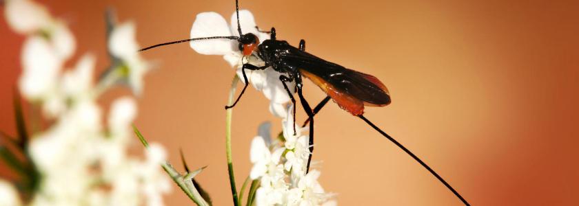 Хищные насекомые – защитники огорода