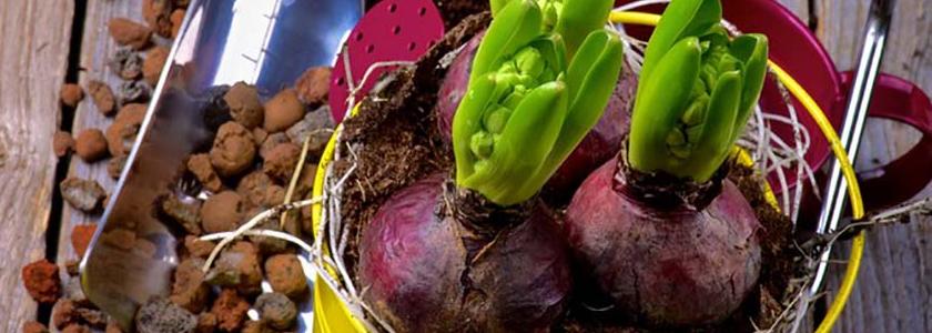 Когда выкапывать и как хранить луковицы тюльпанов, гиацинтов и крокусов