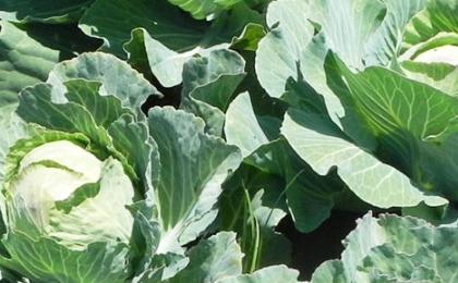 Как бороться с вредителями капусты