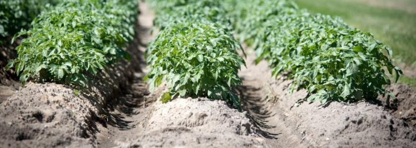 Памятка по окучиванию картофеля