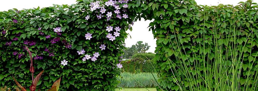 Как озеленить забор из рабицы
